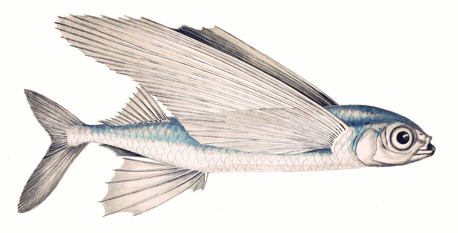 Flying Fish Clip Art Download.