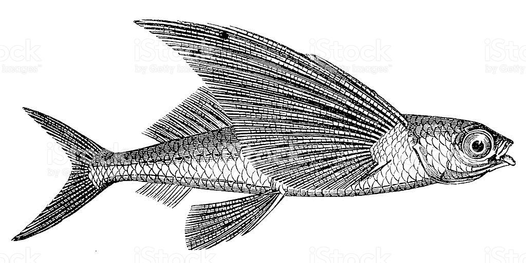 Flying Fish stock vector art 155144512.
