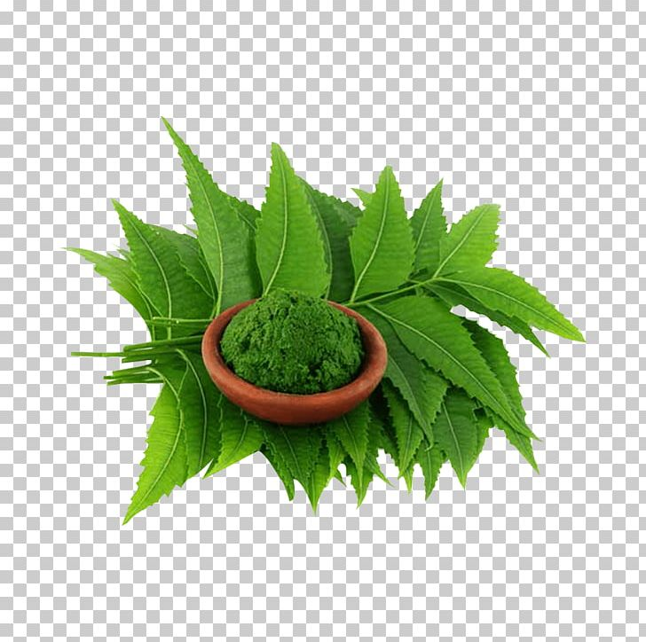 Neem Tree Neem Oil Extract Plant PNG, Clipart, Affect, Azadirachta.
