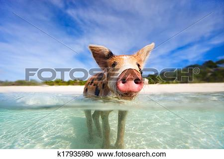 Stock Photography of Swimming pigs of Exumas k17935980.