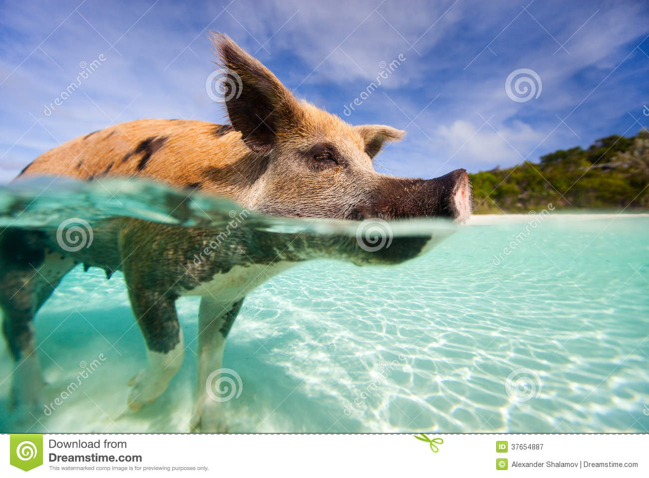 Swimming Pigs Of Exumas Stock Photo.