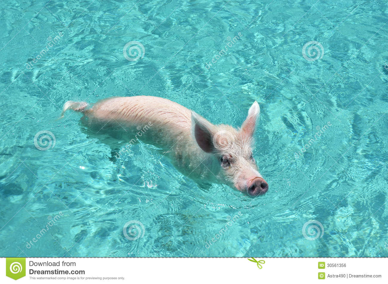 Swimming Pigs Of Exuma Cays, Bahamas Royalty Free Stock Image.