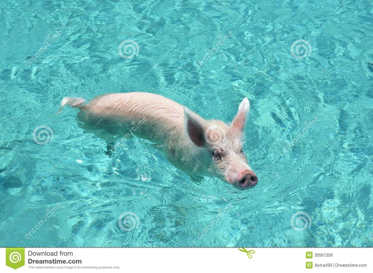 Swimming Pigs Of Exuma Cays, Bahamas Royalty Free Stock Image.