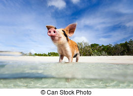 Stock Photos of Swimming pigs of Exuma.