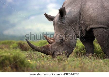Rhino Stock Photos, Royalty.