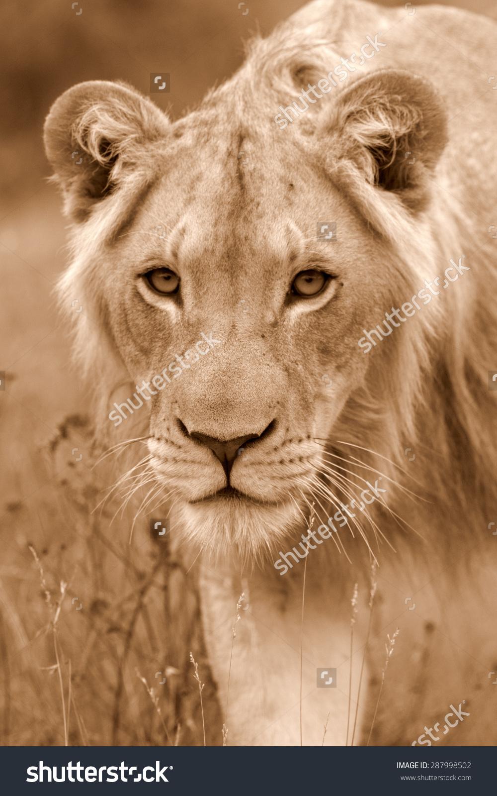 Male Lion Portrait Golden Sunlight Ignite Stock Photo 287998502.