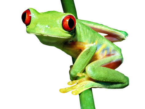 Red eye tree frog clipart.