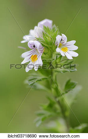 "Stock Photography of ""Eyebright (Euphrasia officinalis, Euphrasia."