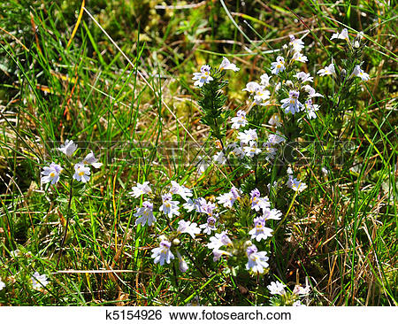 Stock Images of Eyebright (Euphrasia officinalis) k5154926.