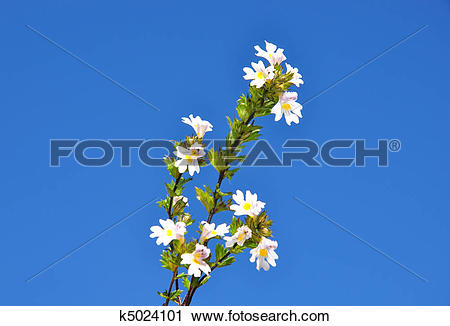 Stock Photography of Eyebright (Euphrasia officinalis) k5024101.