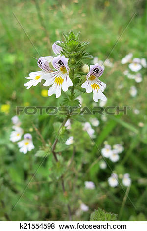 Pictures of Eyebright or Eyewort (Euphrasia rostkoviana) k21554598.
