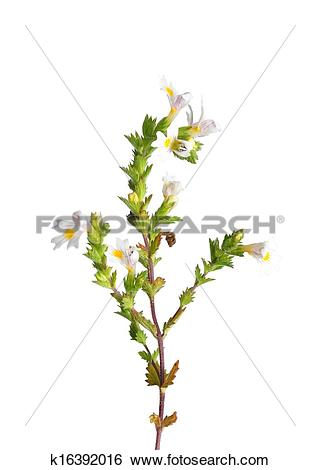 Stock Images of Eyebright (Euphrasia officinalis) k16392016.