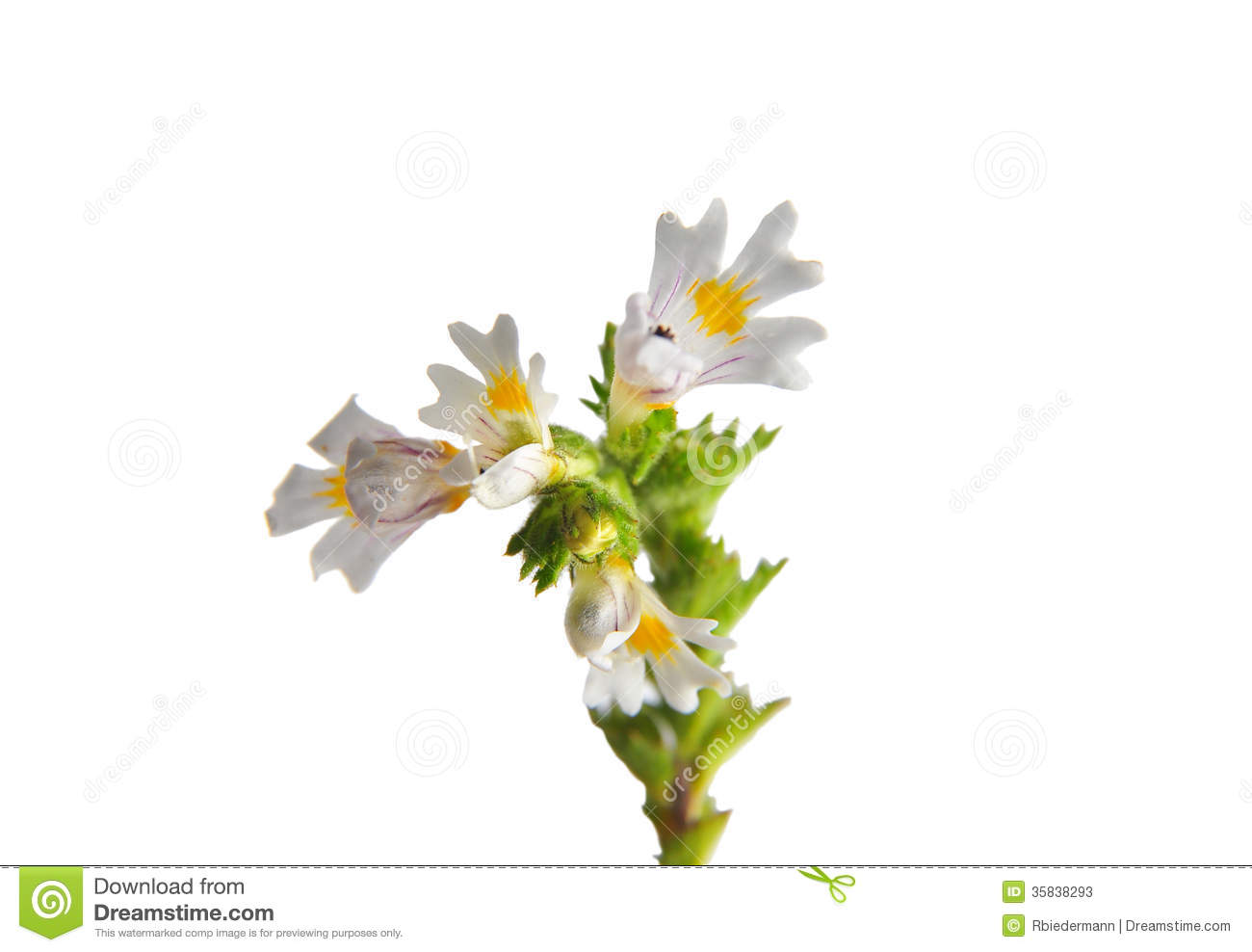 Eyebright (Euphrasia Officinalis) Stock Image.