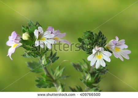 Eyebright Stock Photos, Royalty.