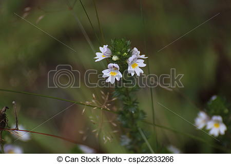 Stock Image of Drug Eyebright.