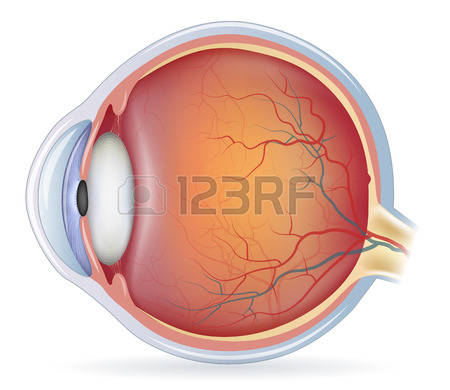 8,699 Eye Anatomy Stock Vector Illustration And Royalty Free Eye.