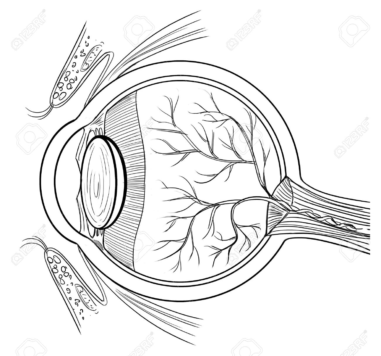 Outline Illustration Of The Human Eye Anatomy Royalty Free.