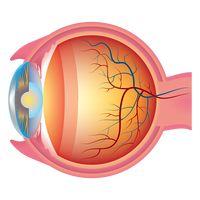 Eyeball Eyeballs Organ Organs Internal Organ Eye Eyes Sight.