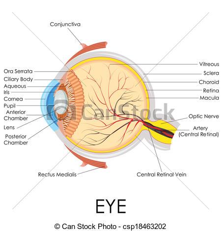 Vector Clipart of Human Eye Anatomy.