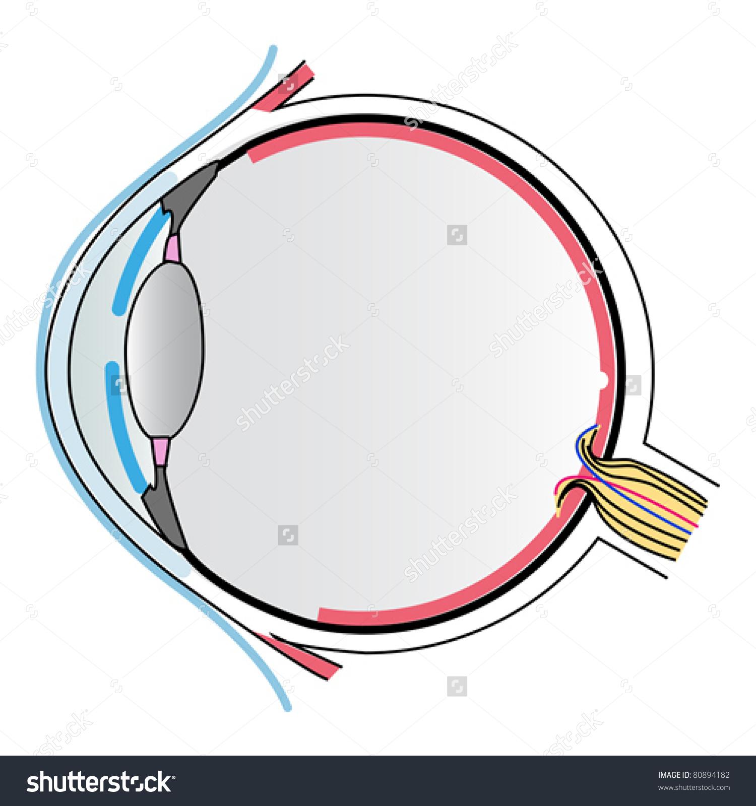 Eye Anatomy Stock Vector 80894182.