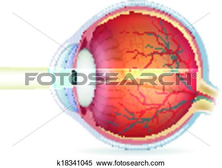 Clipart of Human eye cross section, normal vision k18341045.