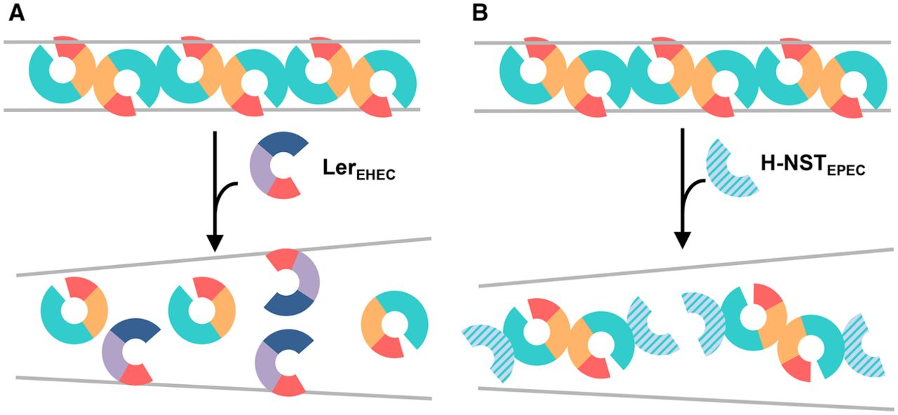 Structure and function of bacterial H.