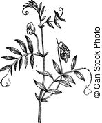 Fabaceae Clipart Vector and Illustration. 88 Fabaceae clip art.
