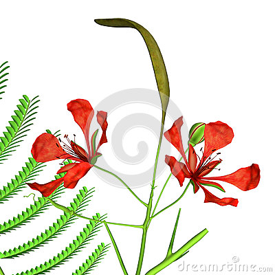 Fabaceae Stock Illustrations.