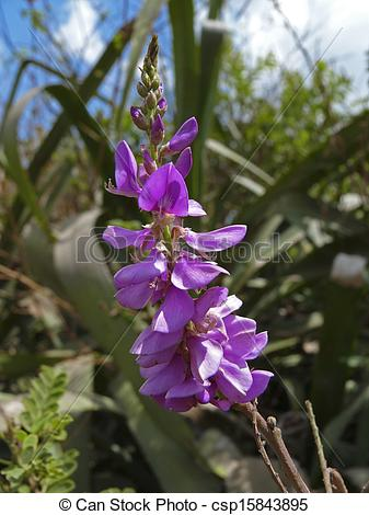 Stock Photographs of Indigofera sp. Family: Fabaceae. A relative.