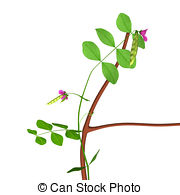 Fabaceae Illustrations and Clip Art. 101 Fabaceae royalty free.