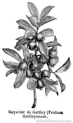 Illustration showing a Common laburnum (golden chain tree), a.