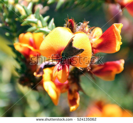 """""""fabaceae Family"""" Stock Photos, Royalty."""