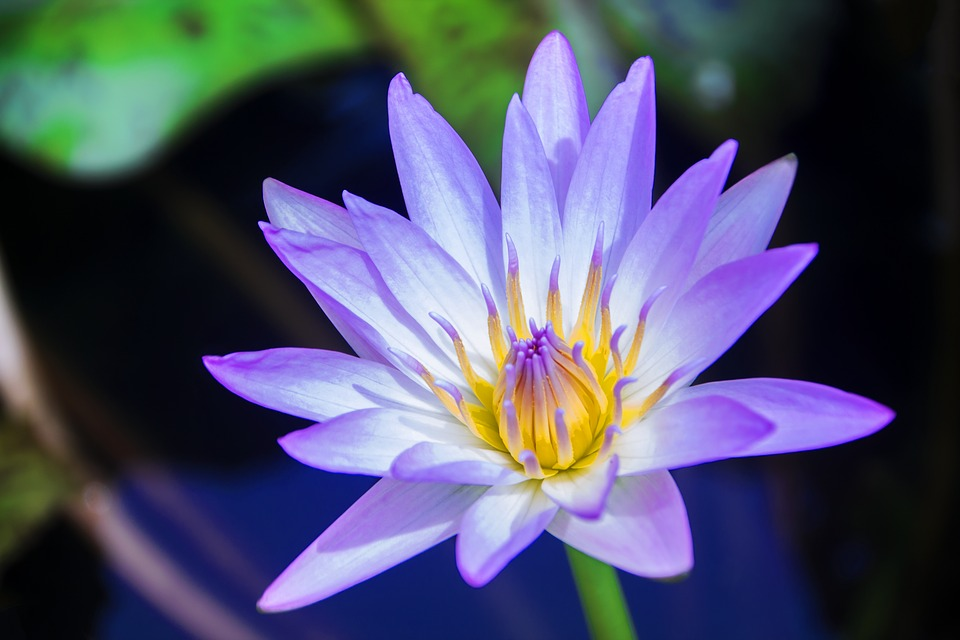 Free photo Bud Aquatic Flower Pond Blossom Lotus Water Lily.