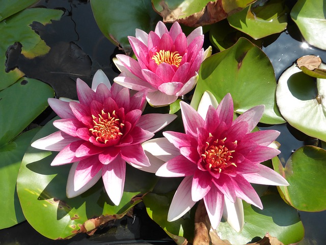 Free photo White Water Lily Water Lily Flower Lotus Bloom.