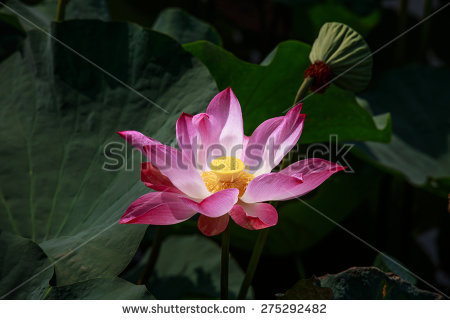 Pink Lotus Flower Faded Stock Photos, Royalty.