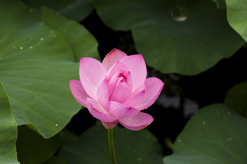 Free photo Beautiful Blossom Flower Beauty Bloom Lotus.