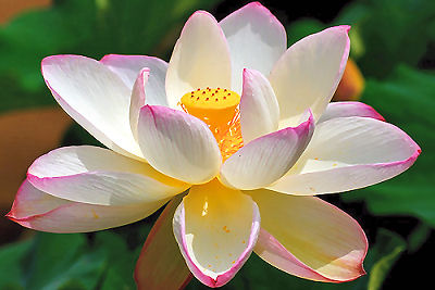 The Divine Lotus Flower.