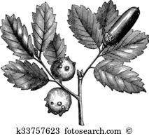 Fagaceae Clipart Royalty Free. 19 fagaceae clip art vector EPS.