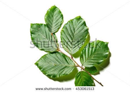 Fagaceae Stock Photos, Royalty.