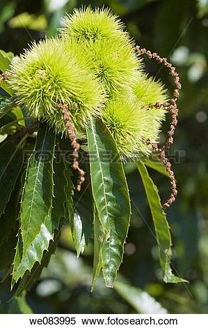 Stock Image of Sweet Chestnut (Castanea sativa, fam. Fagaceae.