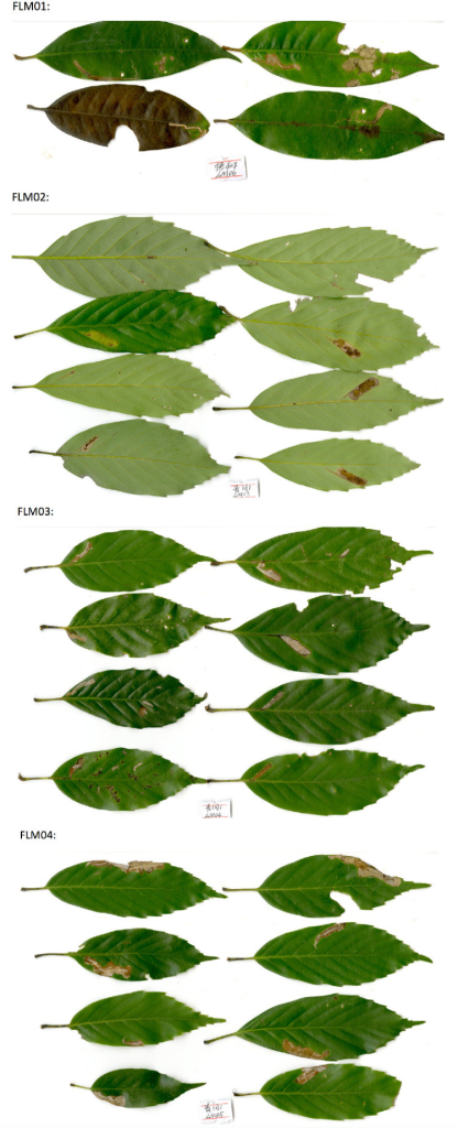 The figures of common leaf mine types on four Fagaceae.