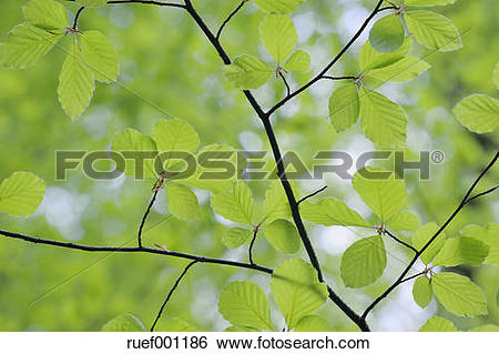 Stock Images of Leaves of European beech (Fagus) in spring, view.