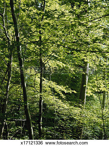 Stock Images of Scotland, Perthshire, beech trees (Fagus.