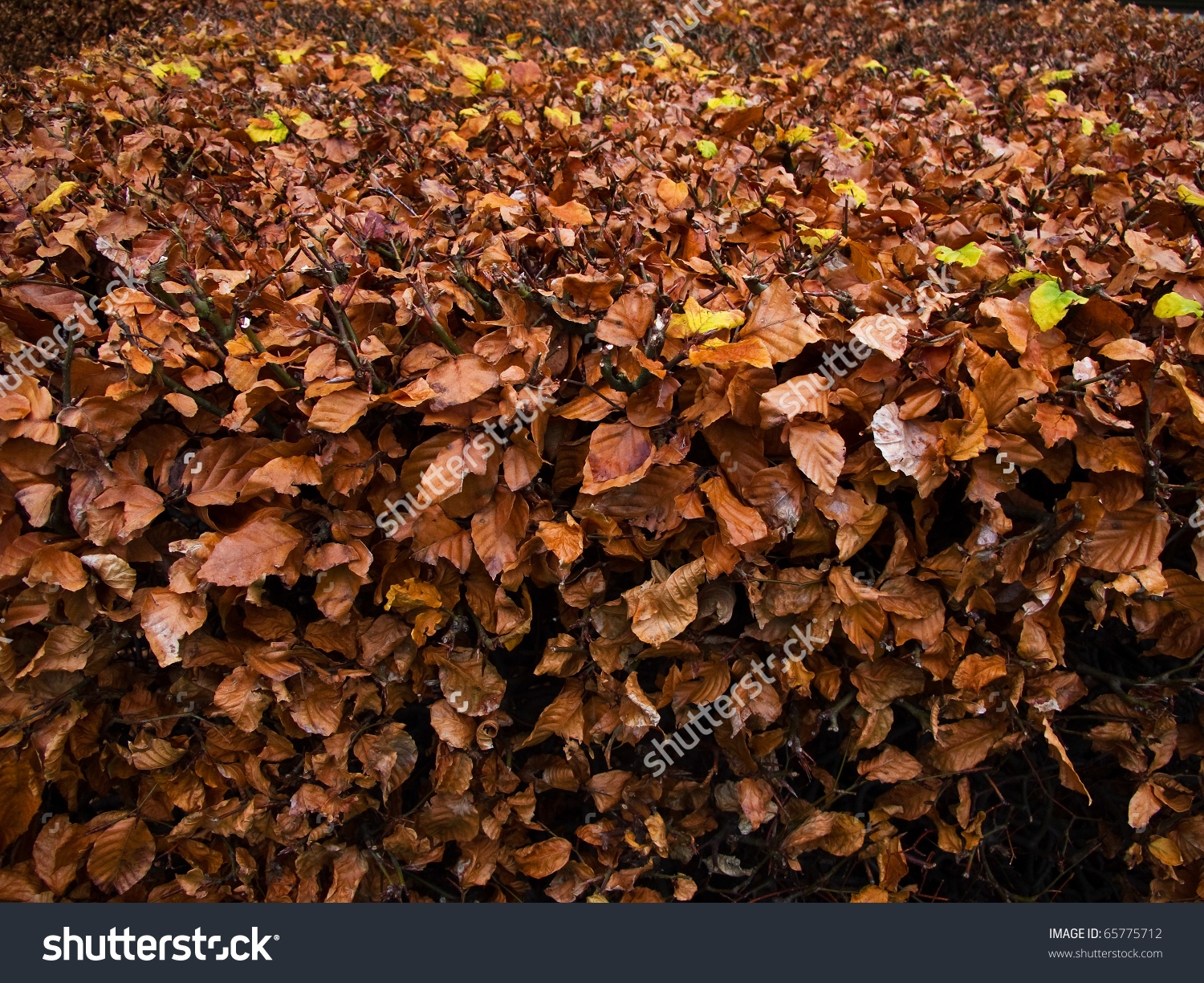 Beech Autumn Leaves On A Hedge, Fagus Sylvatica Stock Photo.