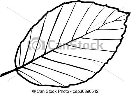 EPS Vector of beech,Fagus sylvatica, vector, isolated beech leaf.