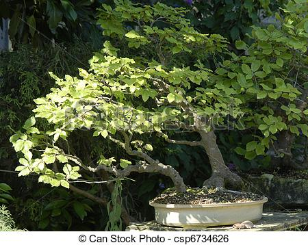 Stock Image of bonsai Fagus Sylvatica.