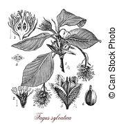Fagus sylvatica Illustrations and Stock Art. 13 Fagus sylvatica.