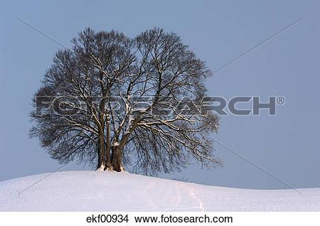 Stock Photo of Germany, Bavaria, Single beech tree (Fagus.