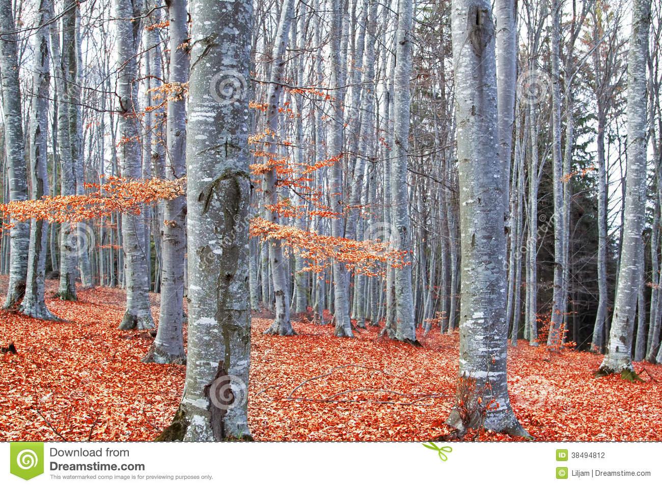 Autumn Beech Forest (Fagus Sylvatica) Stock Photography.