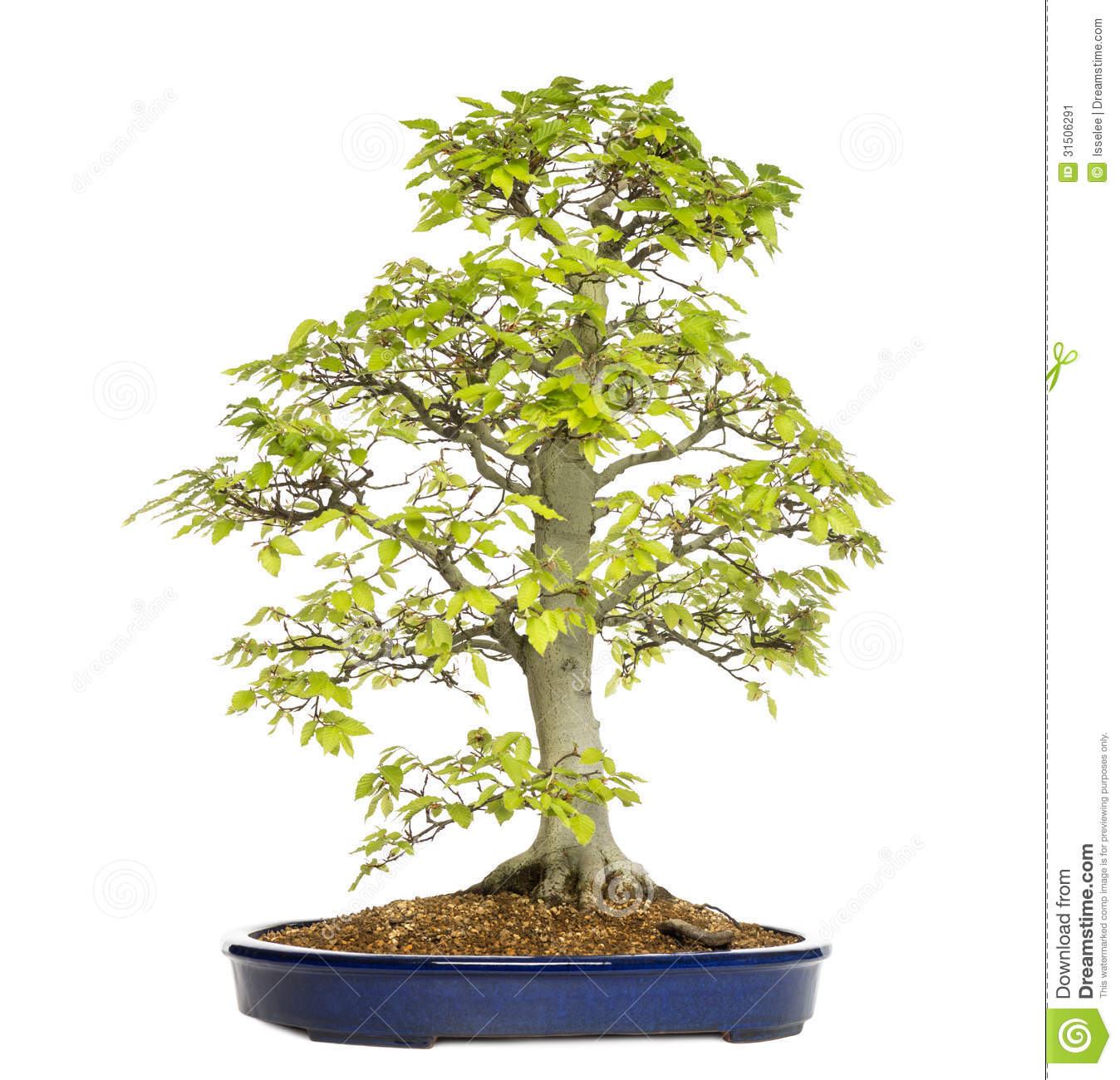 Beech Bonsai Tree, Fagus Sylvatica Stock Image.